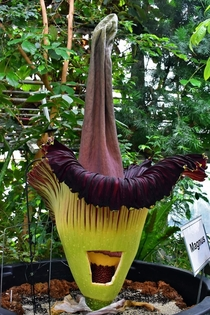 Amorphophallus titanium AKA Corpse Plant yes it smelled AWFUL