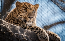 Amur Leopard basking in the sun