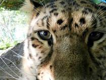 Amur Leopard Curious About My Camera