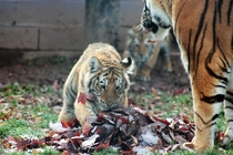 Amur Tiger Cub playing in the Autumn leaves OC