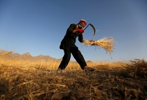An Afghan man harvests wheat on the outskirts of Kabul