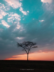 An African Acacia Tree at Sunset