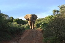 An African Giant - The Bull Elephant Kariega Game Reserve South Africa