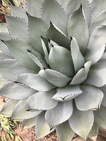 An Agave at the Volunteer Park conservatory in Seattle