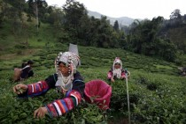 An Akha Hilltribe woman picks Oolong  tea leaves during harvest at the Suwirun Tea farm in the hills outside of Chaing Rai Thailand