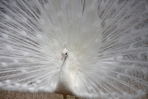 An albino peacock Pavo Cristatus spreading its feathers
