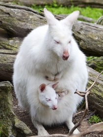 An albino wallaby and young at Gorge Wildlife Park in Australia in  Photograph by Ingrid Van Streepen