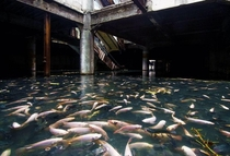 An amazing discovery on an abandoned shopping mall in Bangkok Thailand Its actually flooded by rainwater and is now home to thousands of fishes This is so beautiful