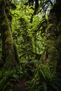 An American Rainforest Hoh Rainforest Olympic Peninsula WA