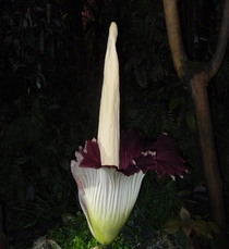 An Amorphophallus titanum  years old first flowering in Nantes botanical garden