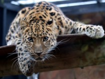 An Amur leopard Panthera pardus orientalis looking into the camera