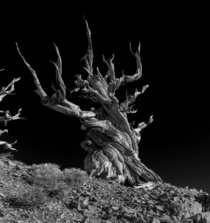 An Ancient Bristlecone Pine Tree This is NOT the Methuselah tree  x