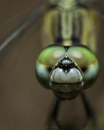 An angry dragonfly