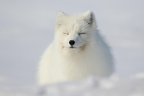 An Arctic Fox napping in the sunshine in Northern Alaska