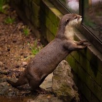 An Asiatic Short Clawed Otter - hes watching the people watching him