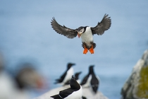 An Atlantic Puffin coming in to land with its wings spread and big orange feet down on Machias Seal Island Photo credit to Ray Hennessy