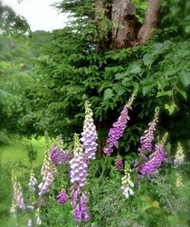 An Cottage Garden Favourite Foxgloves - Digitalis
