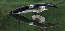 An eagle flying low over water  Photographed by Howard Brodsky