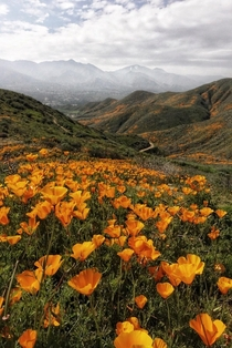 An early start to the Superbloom A field of poppies in Southern California
