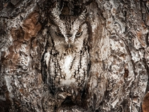 an Eastern Screech Owl in Okefenokee swamp Georgia Photo by Graham McGeorge