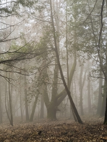 An eerie morning in the Forest of Nisene Marks