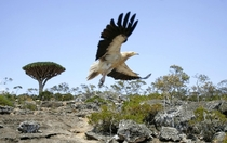 An Egyptian Vulture Neophron percnopterus on the Yemeni island of Socotra Khaled Abdullah