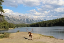 An Elder Elk at a Sandy Lake Staring at the Rocky Mountains Banff Alberta by snakeplay