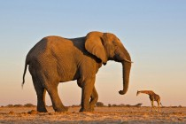 An elephant and a giraffe in Etosha National Park in Namibia
