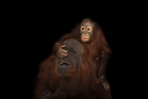 An endangered juvenile Bornean orangutan Pongo pygmaeus with her adoptive mother a Bornean Sumatran cross Pongo pygmaeus x Pongo abelii at the Houston Zoo National Geographic Photo Ark photograph by Joel Sartore