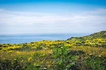 An exceptionally rainy winter has made for an extraordinarily lush and colorful spring along the Malibu coast which was scorched to black and ash by the Woolsey Fire months ago