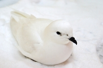 An exhausted Snow Petrel Pagodroma nivea that stopped to rest on a ship I was on