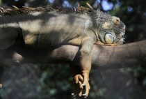 An iguana sleeps on a tree branch at Phnom Tamao Wildlife Rescue Center Cambodia