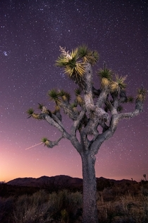 An illuminated Joshua Tree under a beautifully clear starry night Joshua Tree National Park  instagram liamsearphoto