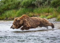 An inch above the water surface Female Grizzly bear