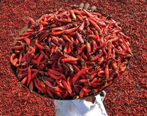 An Indian farmer carries a tray of red chillies to dry on a roof in the village of Sanour on the outskirts of Patiala