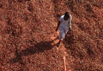 An Indian farmer walks amid red chillies being sun dried on May Day in Hyderabad