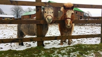 An old favourite of mine - two ponies in the snow  Grappenhall UK