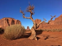 An old juniper in Navajo Nation Arizona