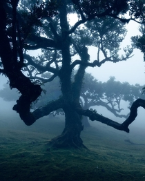 An old laurel tree in the fog forest of Madeira