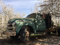 An old truck in a nut orchard