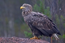 An Old White-tailed eagle on a stone