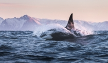 An Orca swimming out to sea in Lofoten  xpost from rNorwayPics