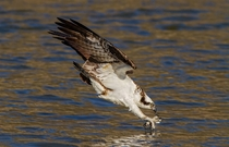 An Osprey fishing on Jordan Lake in North Carolina