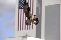 An osprey Pandion haliaetus brings lunch home to its nest near the -story Vehicle Assembly Building at Kennedy Space Center Florida Photo by NASADaniel Casper