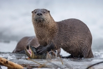 An otter eats a cutthroat trout in the Snake River Grand Teton National Park Wyoming USA Charlie Hamilton James