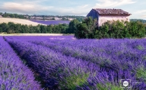 An overgrown building in lavender fields  by Mark Brodkin