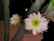 An Unknown Type of Cactus that Blooms at Night