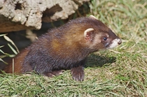 Ancestor of the domestic ferret - The European Polecat Mustela putorius -
