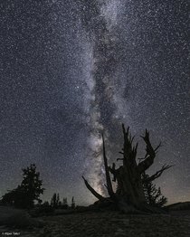 Ancient Bristlecone Pine Forrest Inyo County CA at Night
