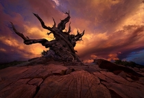 Ancient Bristlecone Pine in California  photo by Marc Adamus